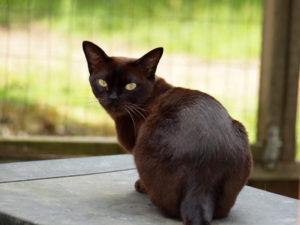 Chap er en halvt år gammel kat, af samme farve som mørk chokolade.