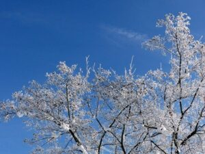 Frosne træer med is-krystaller